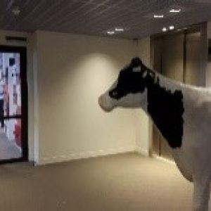 er staat een koe in de gang
